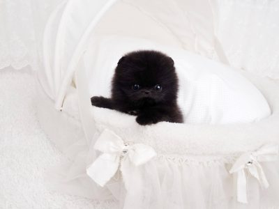 Prada Black Micro Pomeranian