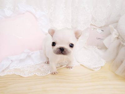 White Teacup French Bulldog Puppy