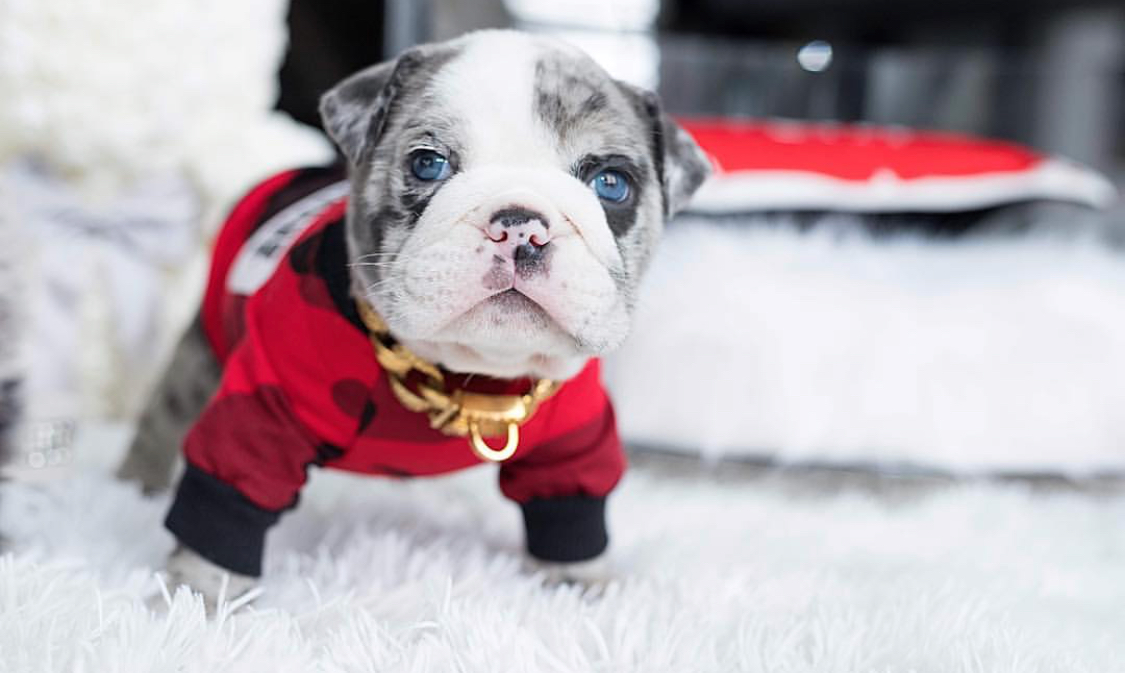Hollywood Blue Merle Teacup ENGLISH Bully with BLUE eyes