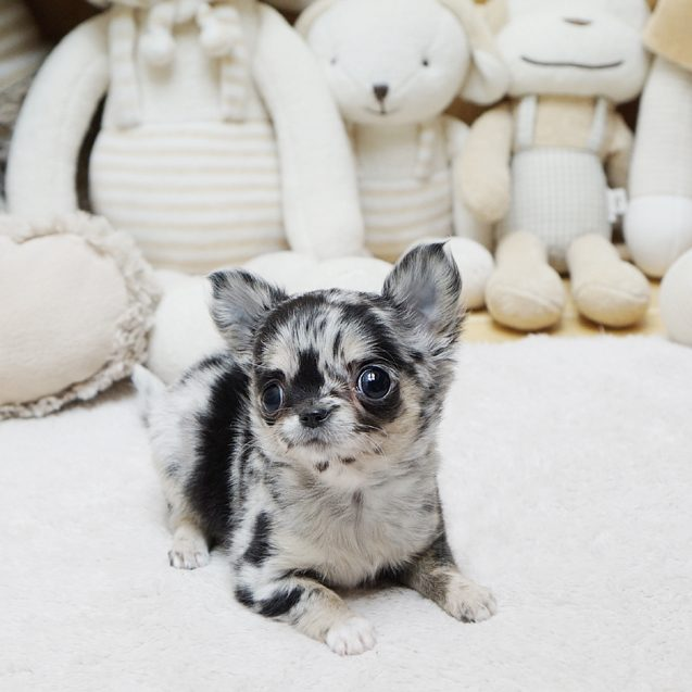 Bentley Merle Micro Chihuahua