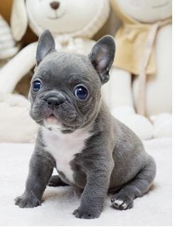 Brooklyn Blue Mini French Bulldog