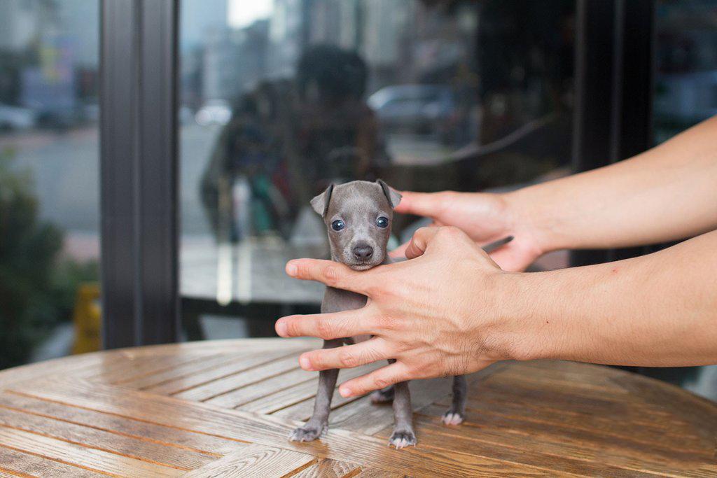 Glo Teacup Italian Greyhound
