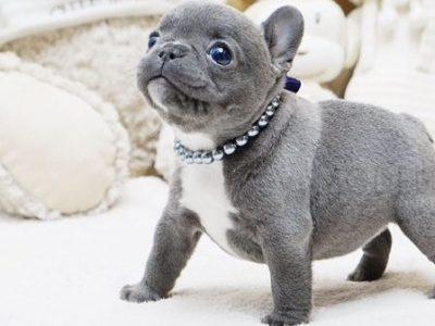 Blue Teacup French Bulldog Puppy