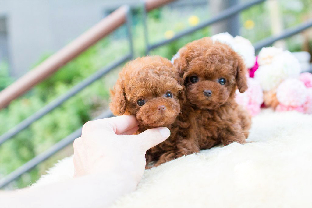 Avalon Siblings Red Micro Poodle