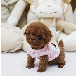 Poppy Red Micro Poodle