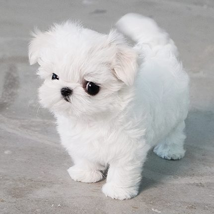 white teacup maltese mint white micro maltese tiny teacup pups 5003