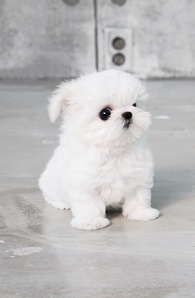 Minty White Micro Maltese