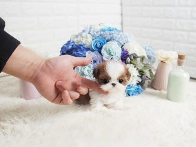 Ruby and White Teacup Shih Tzu Puppy