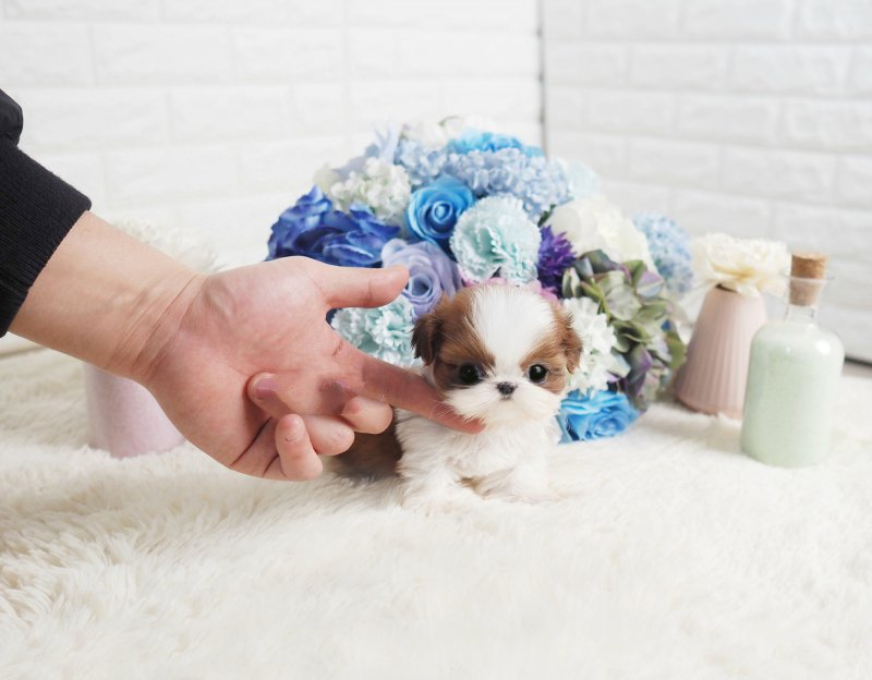 Sunny Cute Tiny Teacup Shih Tzu Puppy For Sale Microteacups Tiny