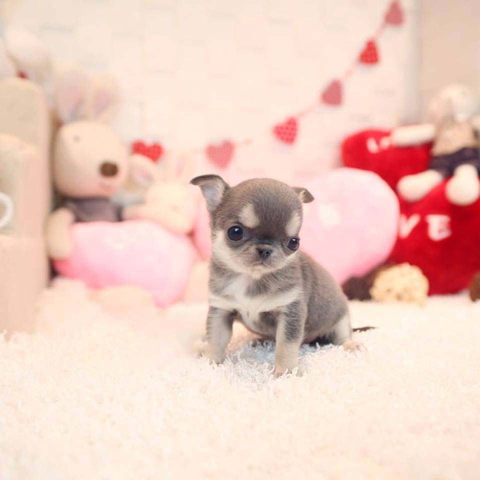 Micro Teacup Chihuahua Chocolate Puppy for Sale - MICROTEACUPS