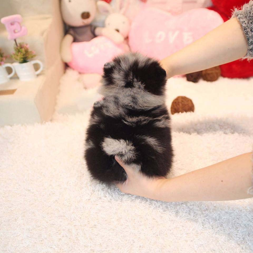 Adele Blue Merle Eyes Micro Teacup Pomeranian Puppies