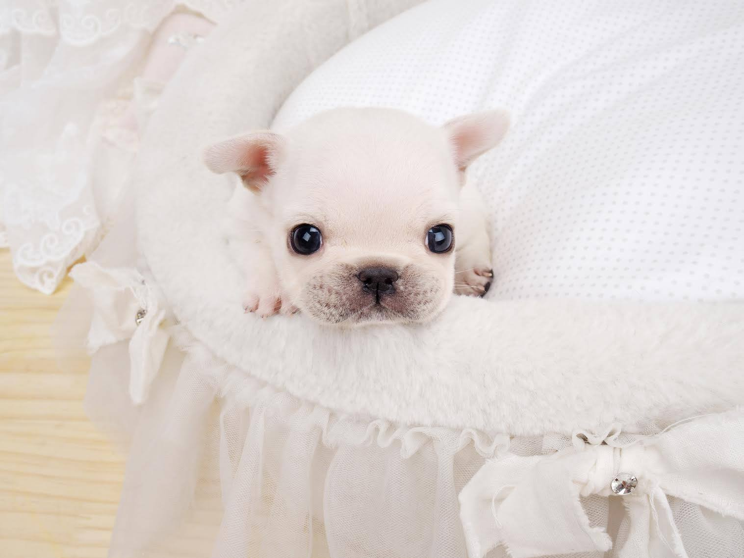 Fefe – The Pretty White Teacup French bulldog Puppies for Sale