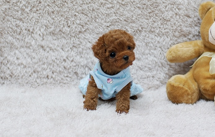Playful Micro Teacup Poodles for Sale – Poppy