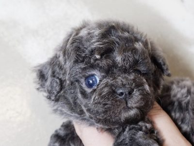 Blue Micro Poodle Puppy