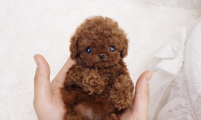 Rocky Red Mini Teacup Poodles for Sale