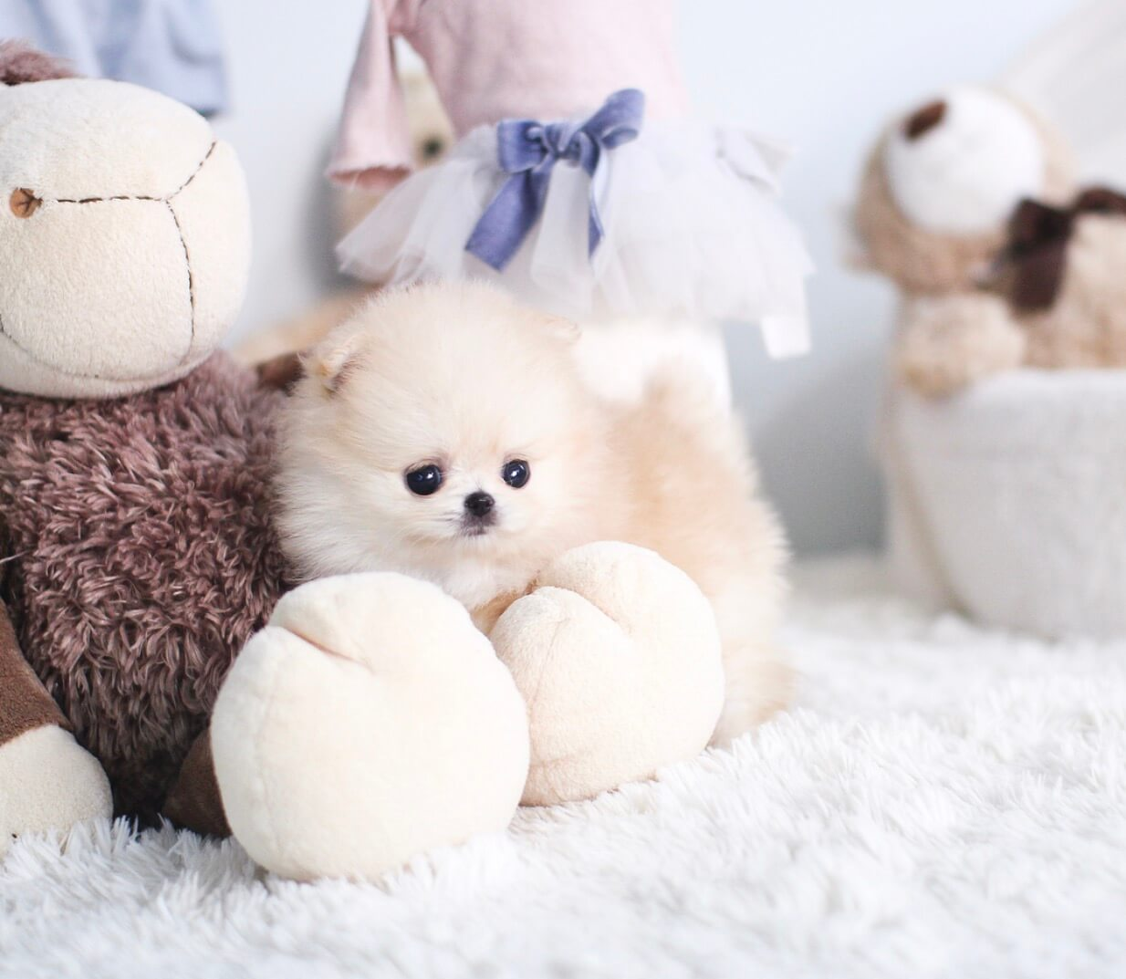 Pandora Cream Hair Small Pomeranian Puppies for Sale - MICROTEACUPS