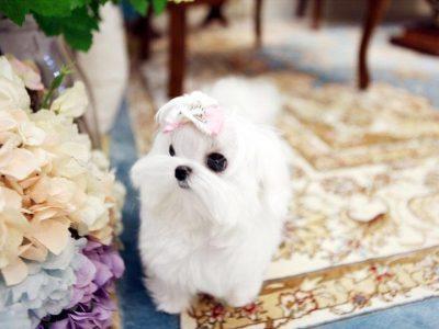 White Micro Maltese Puppy