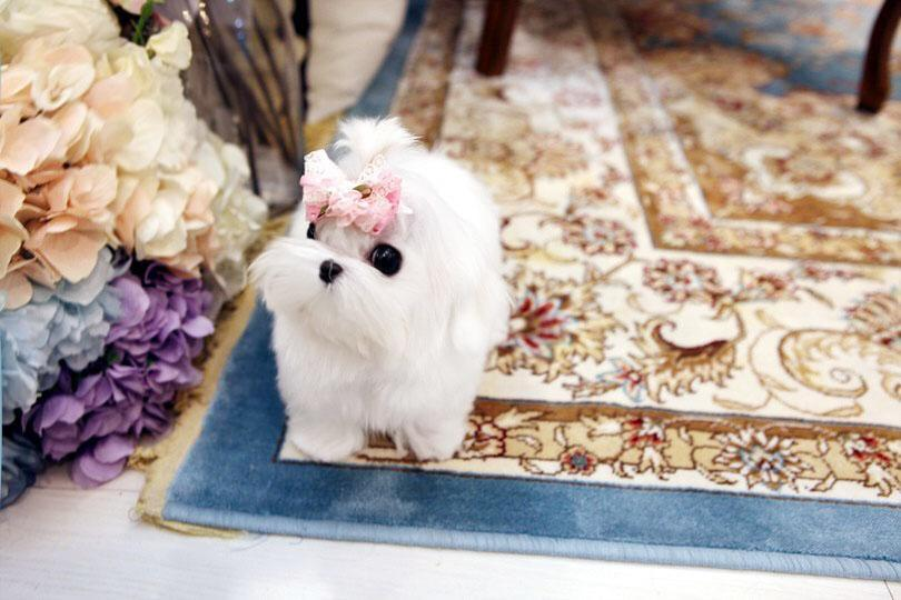 Micro Teacup Betty Maltese Puppy for sale.