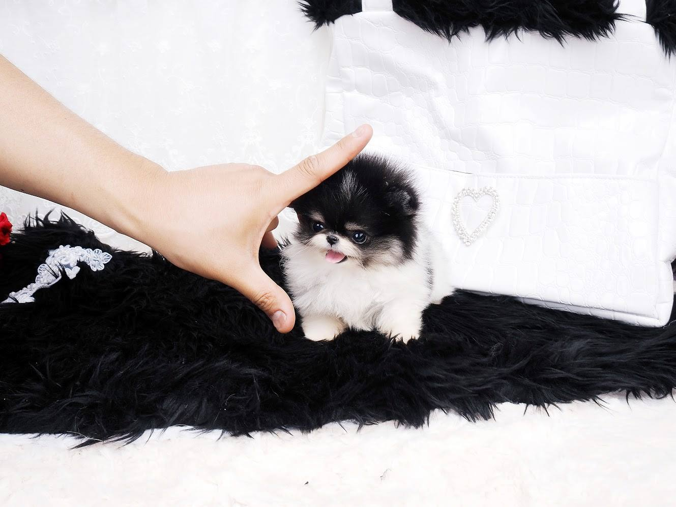 Dash Parti Micro Teacup Pomeranian for Sale