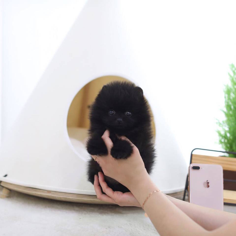 Batman – The Black Micro Teacup Pomeranian for Sale