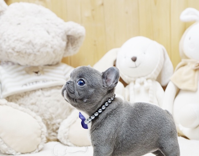 Brooklyn Blue Teacup French Bulldog Puppies for Sale