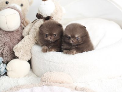 Chocolate Micro Pomeranian Puppy For Sale