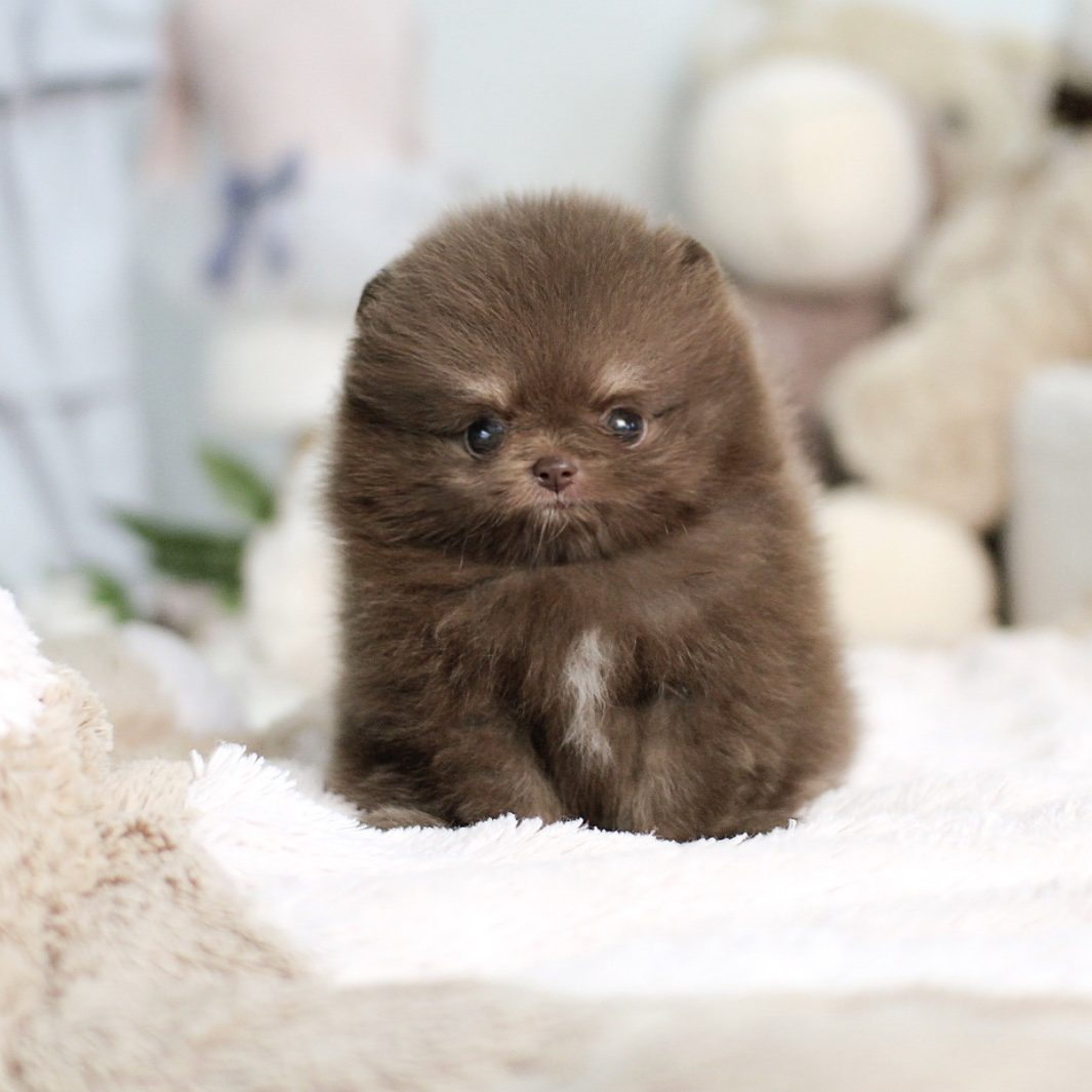 Playful TayTay Micro Teacup Pomeranian for sale