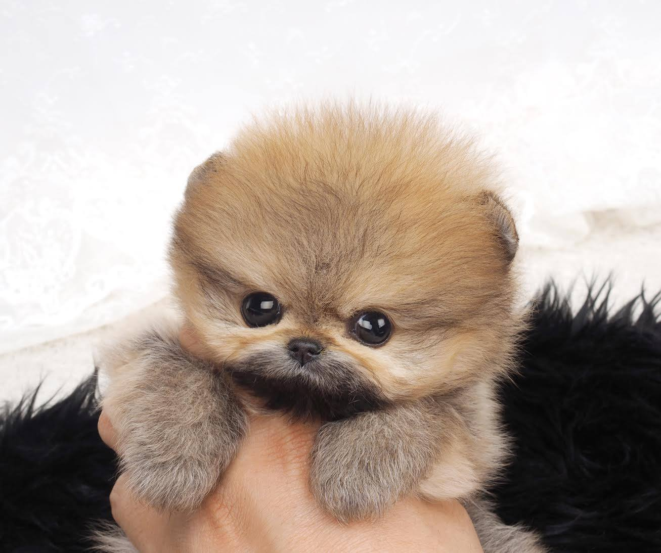 Classic Pusha Micro Teacup Pomeranian for Sale