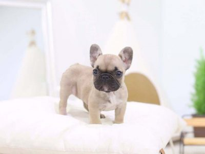 Fawn Teacup French Bulldog Puppy