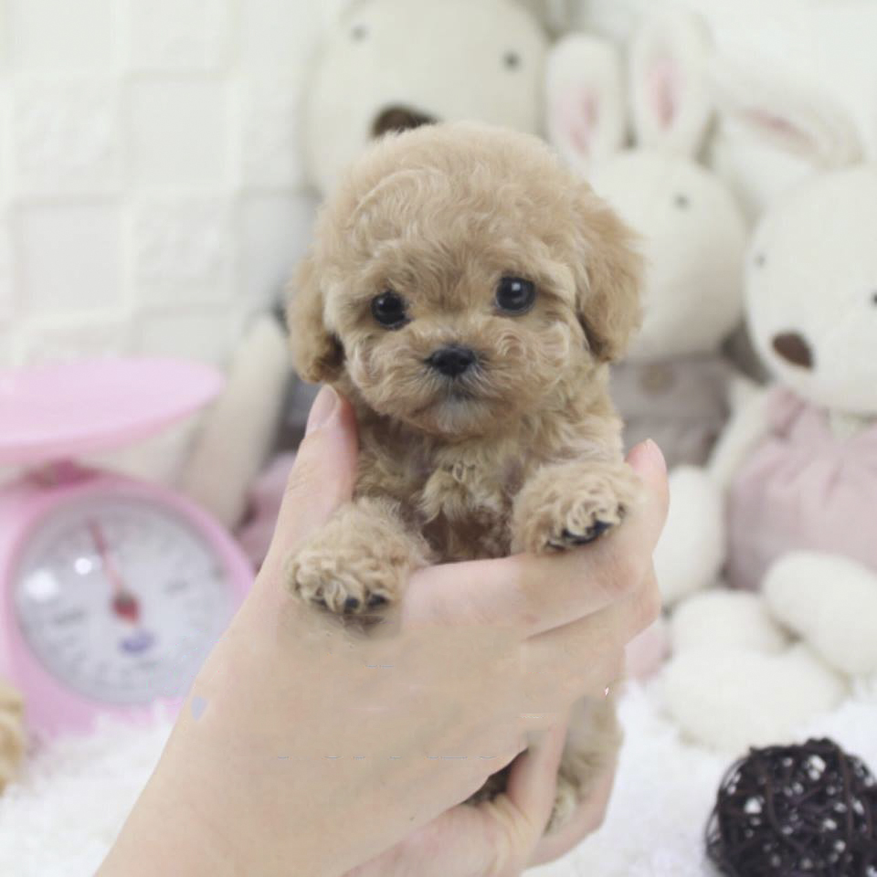 Power! Buttery Cream Hair Micro Poodle for Sale