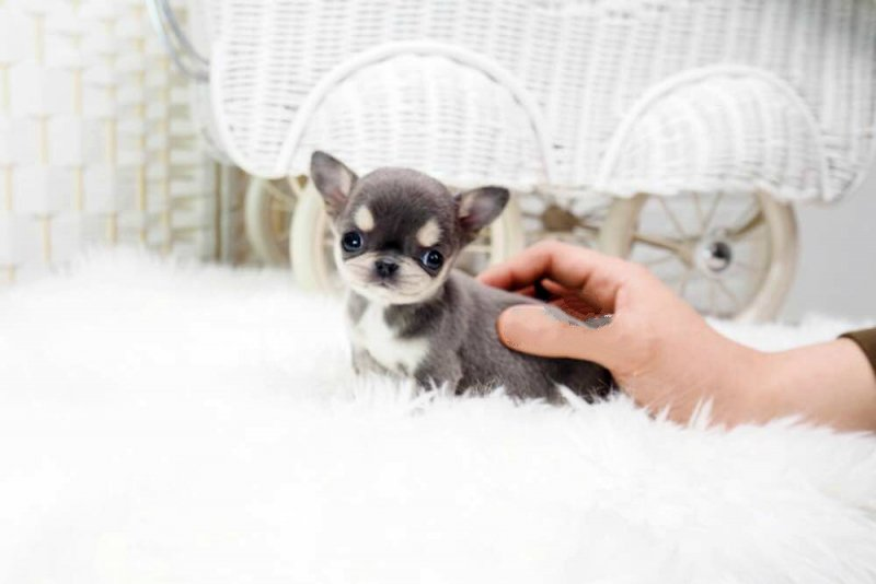 Tiny Teacup Cassie Blue Micro Chihuahua Puppy for Sale