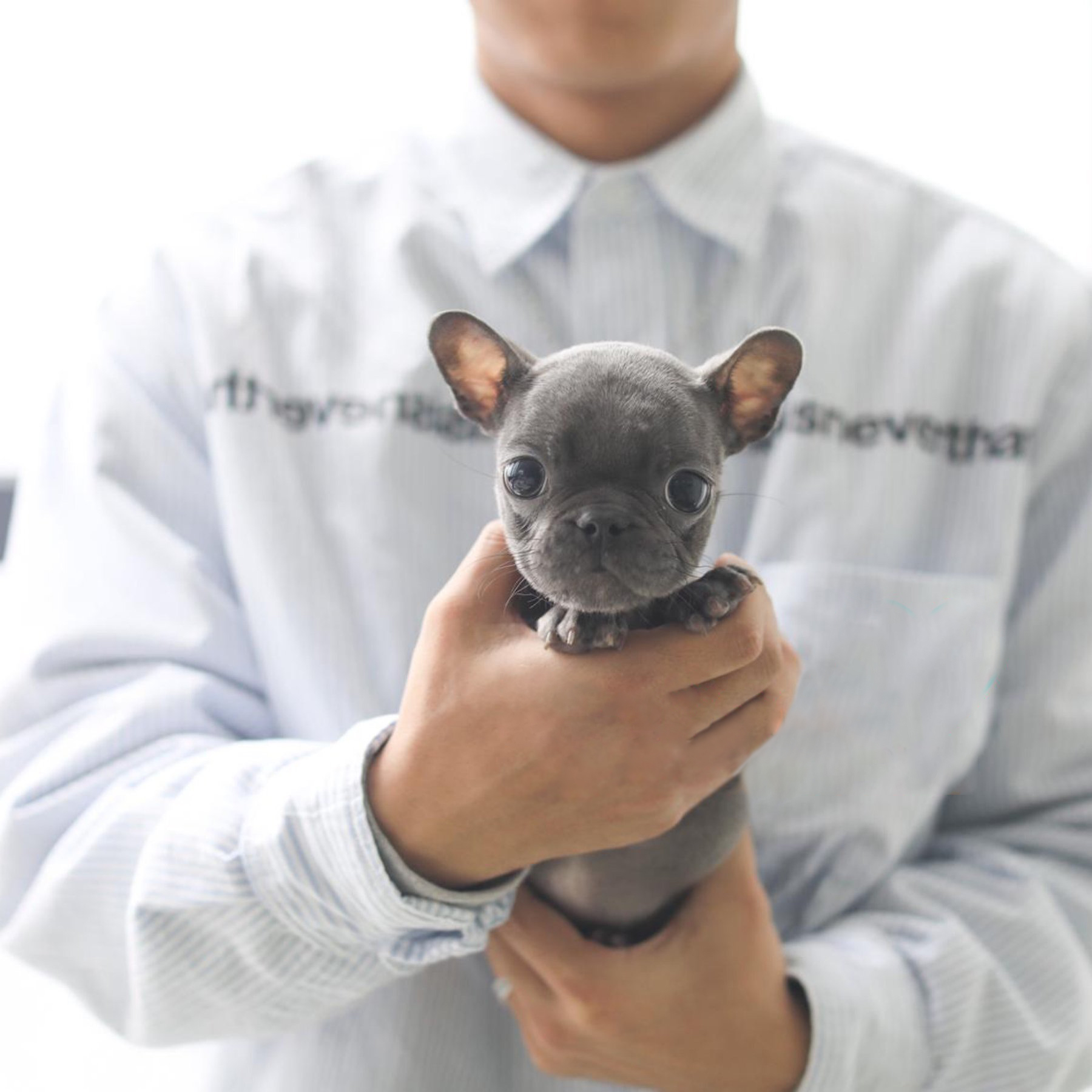 Fabulous Blue French Bulldog Tiny Dogs for Sale