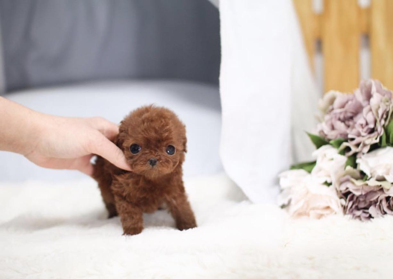 Cute Papi Mini Teacup Poodle Puppies for Sale