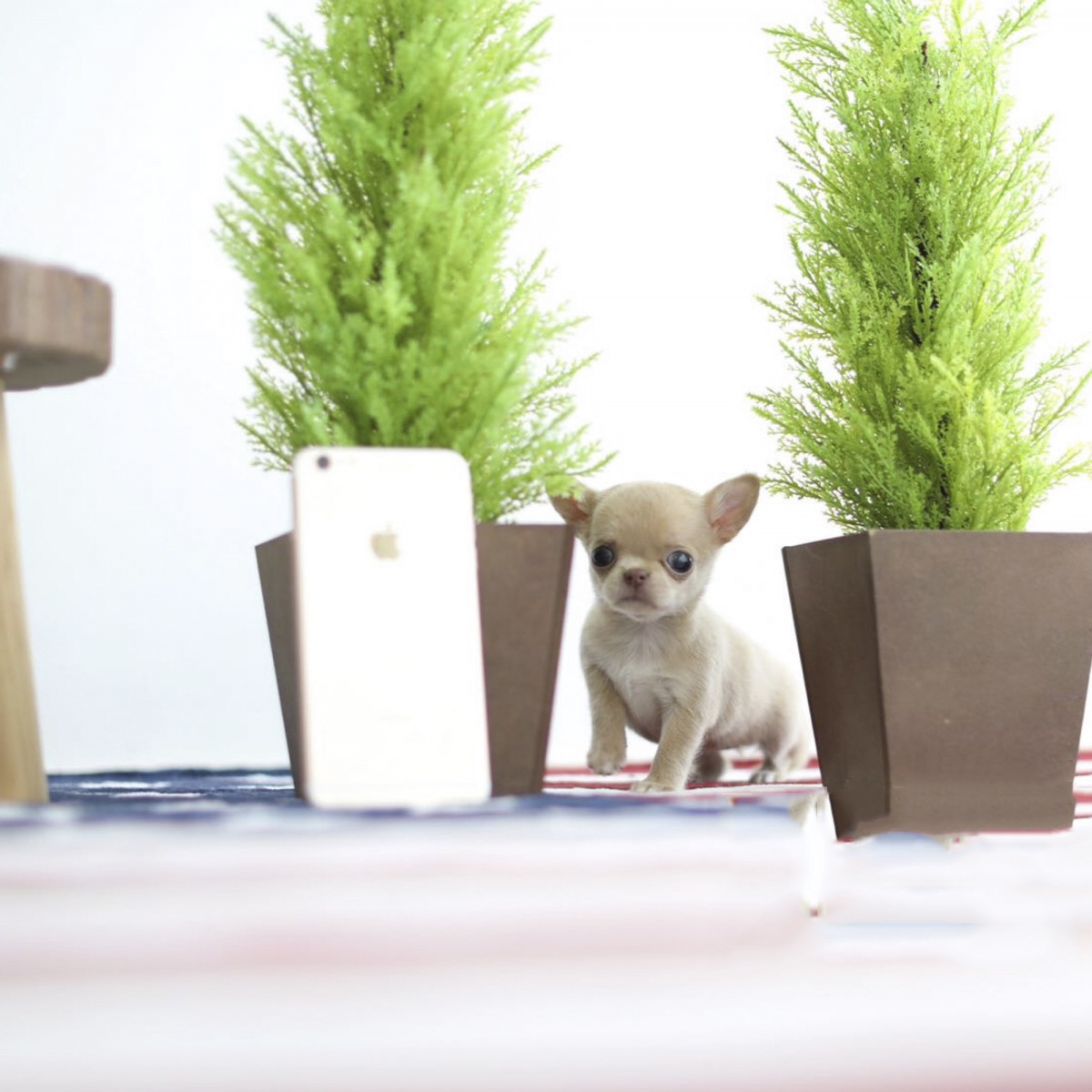 Coconut Cream Teacup Micro Chihuahua Puppy for Sale
