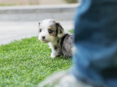Blue Merle Teacup Dachshund Puppy For Sale