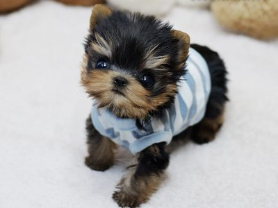 Classic Micro Yorkie Puppy For Sale