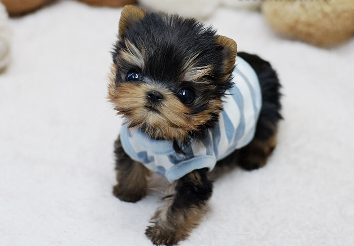 Zippy Classic Tiny Teacup Micro Yorkie Puppies for Sale