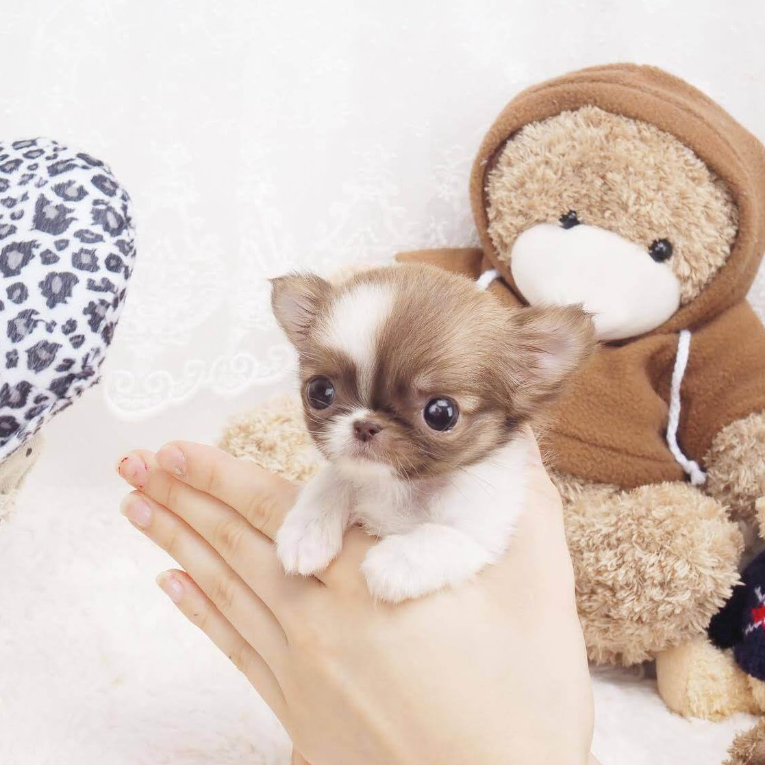 Candy Cinnamon Color Teacup Micro Chihuahua Puppy