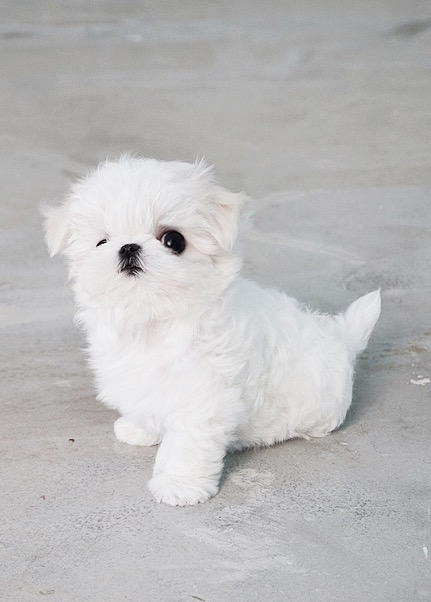 Playful Minty White Teacup Maltese for Sale