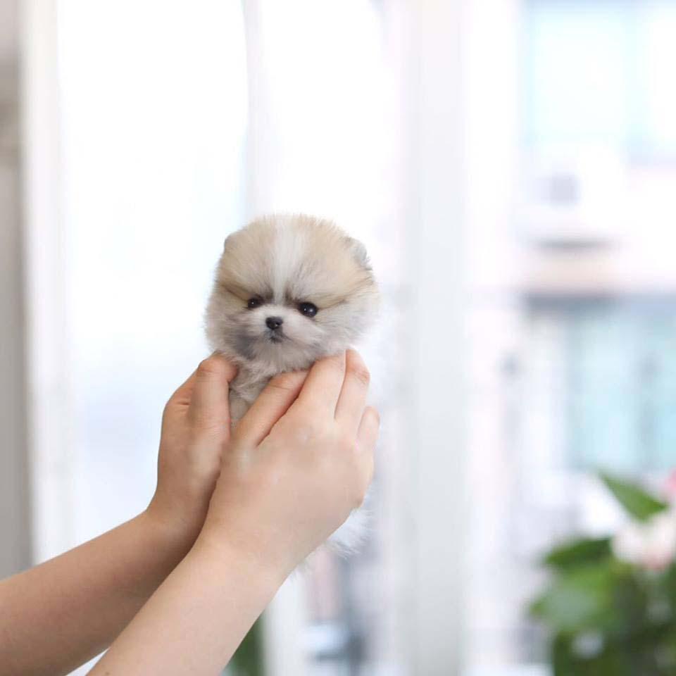 Fabio Parti Coat Micro Teacup Pomeranian Puppies