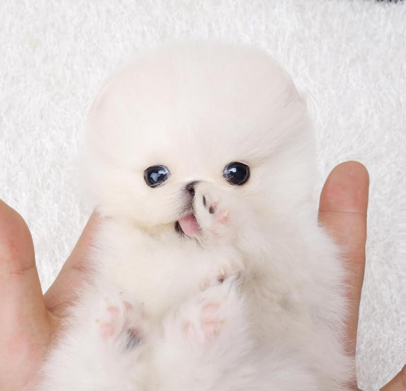 Prince White Micro Teacup Pomeranian for Sale