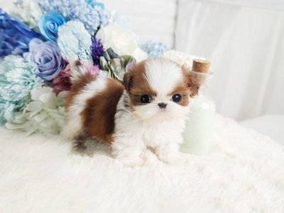Teacup Shih Tzu Puppy For Sale