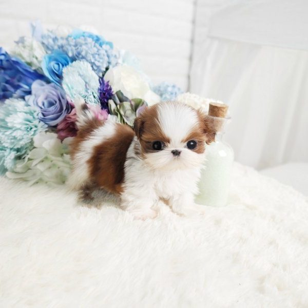 Classie Tiny Teacup Shih Tzu Puppy For Sale Microteacups Tiny