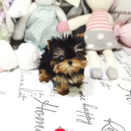 Yolanda Tiny Toy Yorkie