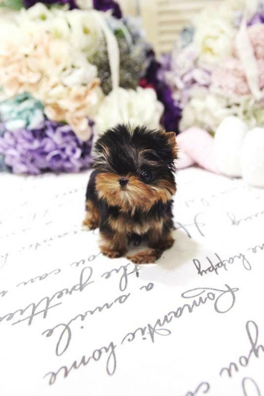 Yolanda Tiny Toy Yorkie