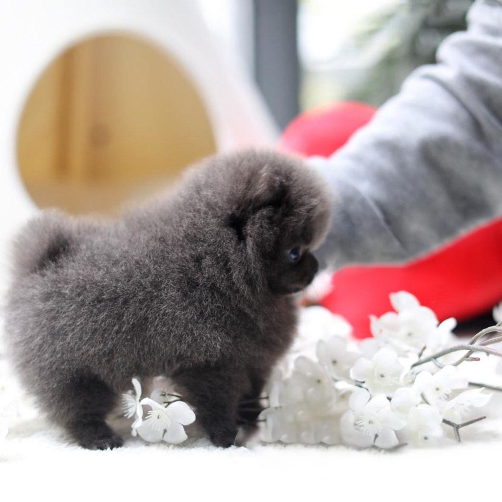Nacho Blue Micro Pomeranian