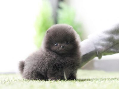 Blue Micro Pomeranian Puppy