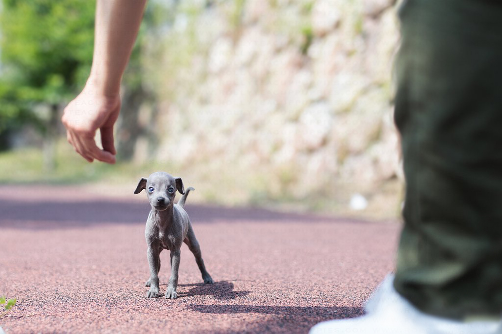 Ian Teacup Italian Greyhound