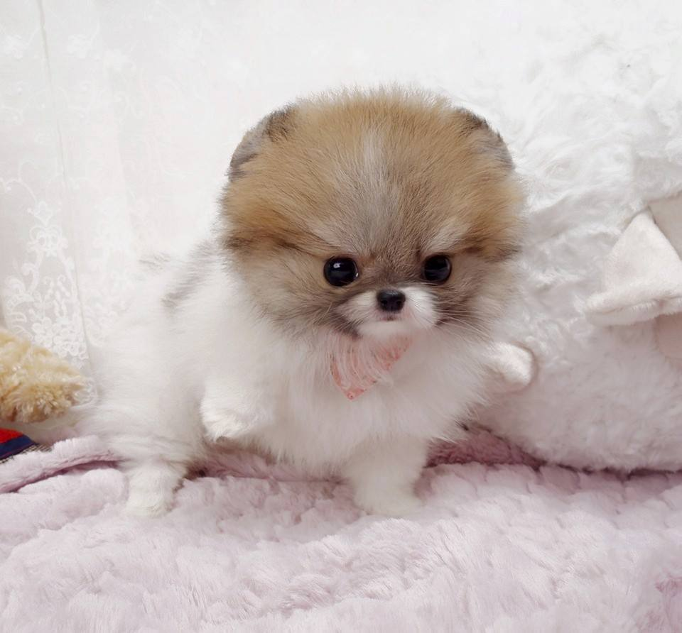 Nigel Small Teacup Pomeranian