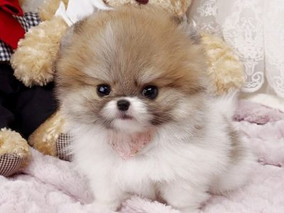Parti Micro Pomeranian Puppy For Sale